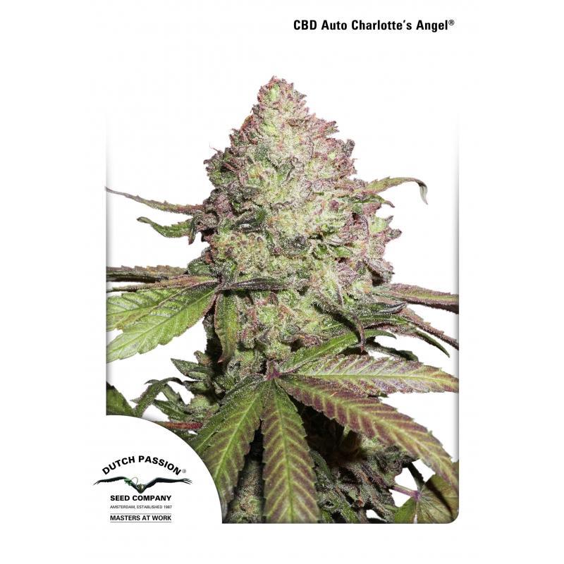 CBD Charlotte's Angel Seeds - Dutch Passion