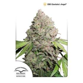 CBD Charlotte's Angel Seeds - Dutch Passion