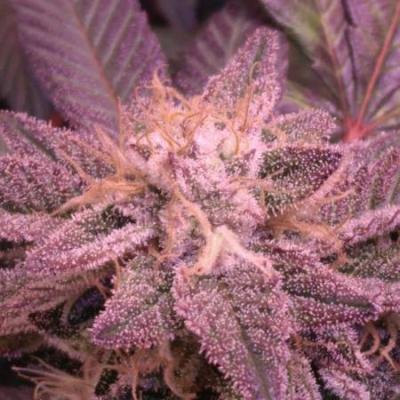 Pink Kush CBD 30:1 Autoflowering Samen - Seedsman