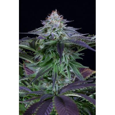 Dinamed Kush CBD Autoflower Seeds - Dinafem Seeds, Cuttings and