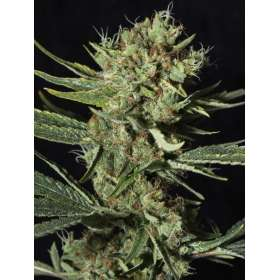 Only CBD 1:20 - Eva Seeds, Cuttings and seeds