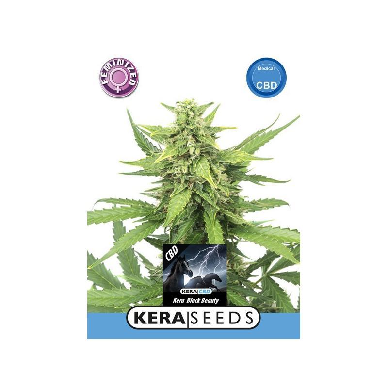 Graines Black Beauty CBD - Kera Seeds, Boutures et graines