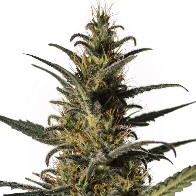 Candida CBD Samen - Medical Marijuana Genetics