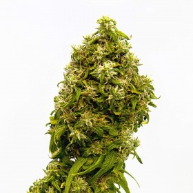 Swiss Dream CBD Seeds - Kannabia